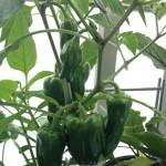 初心者でも家庭菜園で作れる野菜3種
