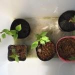 挿し木したソメイヨシノの越冬 その2