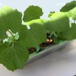 種からゴーヤでグリーンカーテンを作るときの育て方 その2