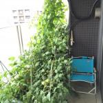 種からゴーヤでグリーンカーテンを作るときの育て方